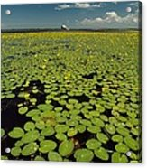 A River Delta Filled With Lily Pads Acrylic Print by Bill Curtsinger