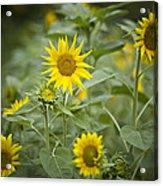 A Row Of Bright Yellow Sunflowers Grow Acrylic Print by Hannele Lahti