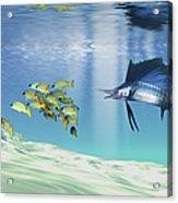 A Sailfish Hunts Prey On A Sandy Reef Acrylic Print by Corey Ford