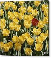 A Single Red Tulip Among Yellow Tulips Acrylic Print by Ted Spiegel