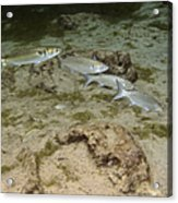 A Small School Of Grey Mullet Swim Acrylic Print by Terry Moore