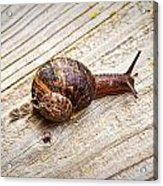 A Snail Sliding Across A Wooden Surface Acrylic Print by Tom Gowanlock