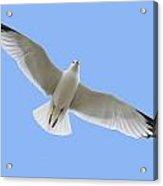 A Soaring Dove Acrylic Print by Don Hammond
