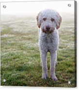 A Spanish Water Dog Standing A Field Acrylic Print by Julia Christe