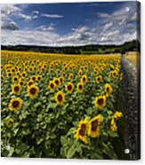 A Sunny Sunflower Day Acrylic Print by Debra and Dave Vanderlaan