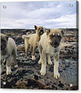 A Trio Of Growling Husky Puppies Acrylic Print by Paul Nicklen