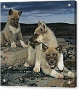 A Trio Of Playful Husky Puppies Acrylic Print by Paul Nicklen