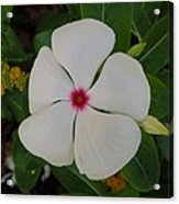 A White Star With A Red Center Acrylic Print by Chad and Stacey Hall