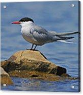 Adult Common Tern Acrylic Print by Tony Beck