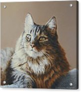 Alexi Maine Coon Acrylic Print by Barbara Groff