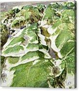 Algae Covered Rocks Acrylic Print by Georgette Douwma
