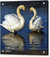 Alpha Swan Acrylic Print by Brian Stevens