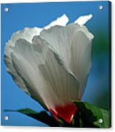 Althea Flower Acrylic Print by David Weeks