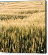 Amber Waves Of Grain Acrylic Print by Cindy Singleton