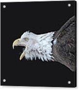 American Bald Eagle Acrylic Print by Paul Ward