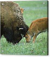 American Bison Cow And Calf Acrylic Print by Suzi Eszterhas