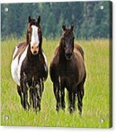 American Paint Stallion And Mare Acrylic Print by Karon Melillo DeVega