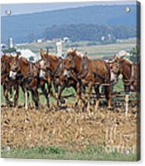 Amish Working Team  Acrylic Print by Louise Peardon