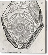 Ammonite Fossil, 16th Century Acrylic Print by Middle Temple Library