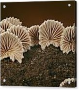 An Array Of Common Split Gill Mushrooms Acrylic Print by Darlyne A. Murawski