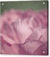 Antique Pink Acrylic Print by Aimelle