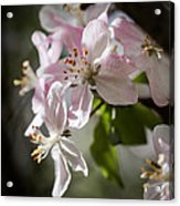 Apple Blossom Acrylic Print by Ralf Kaiser