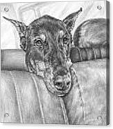 Are We There Yet - Doberman Pinscher Dog Print Acrylic Print by Kelli Swan
