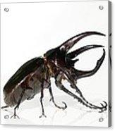 Atlas Beetle Acrylic Print by Chris Hellier
