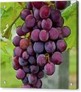 August Grapes Acrylic Print by Michael Flood