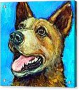 Australian Cattle Dog   Red Heeler  On Blue Acrylic Print by Dottie Dracos