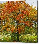 Autumn Maple Tree Acrylic Print by Elena Elisseeva