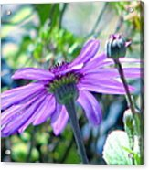 Avatar's Pericallis Acrylic Print by Rory Sagner