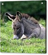Baby Donkey Acrylic Print by Deborah  Smith
