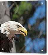 Bald Eagle At Mclane Center Acrylic Print by Peter Gray