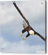 Bald Eagle Acrylic Print by Brandon Broderick