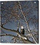 Bald Eagle In A Tree Acrylic Print by Con Tanasiuk