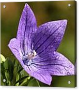 Balloon Flower Acrylic Print by Lori Peters