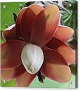 Banana Tree Blossom Acrylic Print by Valia Bradshaw