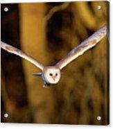 Barn Owl In Flight Acrylic Print by MarkBridger