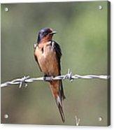 Barn Swallow - Looking Good Acrylic Print by Travis Truelove