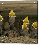 Barn Swallow Hirundo Rustica Chicks Acrylic Print by Cyril Ruoso