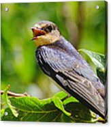 Barn Swallow In Sunlight Acrylic Print by Robert Frederick