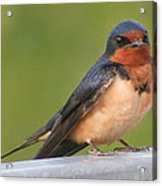 Barn Swallow Acrylic Print by Laurel Talabere