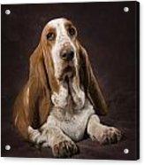 Basset Hound On A Brown Muslin Backdrop Acrylic Print by Corey Hochachka