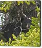 Bear In A Tree Acrylic Print by Charles Warren