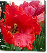 Beautiful From Inside And Out - Parrot Tulips In Philadelphia Acrylic Print by Mother Nature