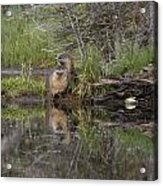 Beaver Pair Acrylic Print by Charles Warren