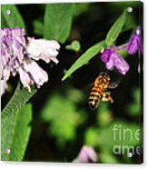 Bee In Flight Acrylic Print by Kaye Menner