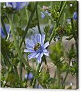 Bee On Romaine Flower Acrylic Print by Donna Munro