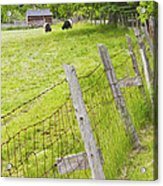 Belted Galloway Cows Farm Rockport Maine Acrylic Print by Keith Webber Jr
